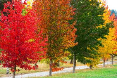 Amberbäume brauchen keinen Schnitt, um sich prächtig zu entwickeln.