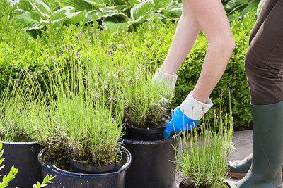 Lavendel ist eine vielseitig einsetzbare Pflanze.