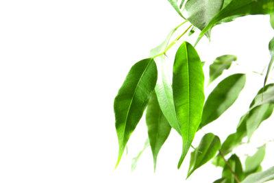 Ein Ficus verliert schnell Blätter.
