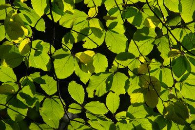 Die Rotbuche mit saftig grünen Blätter.