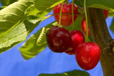 Obstbäume bereichern kleine und große Gärten.