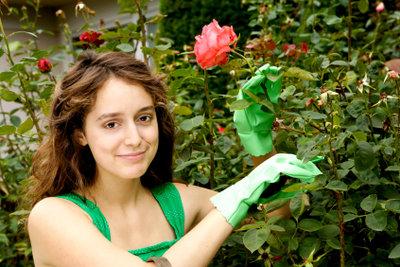 Schöne Rosen sind keine Glücksache.