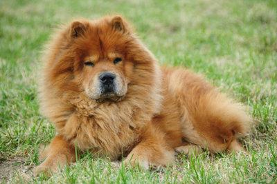 Der Chow Chow ist ein Familienhund!