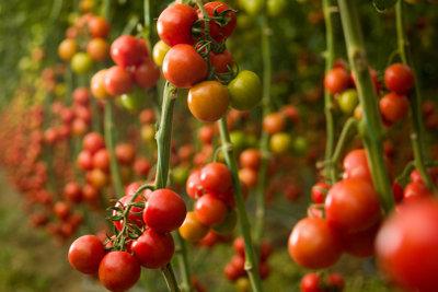 Schützen Sie Ihre Pflanzen im Tomatenhaus.