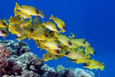 Fische im Aquarium lieben Riffe.