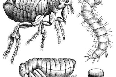Insektizide helfen nur gegen Larven und Flöhe, nicht gegen Puppen und Eier.