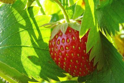 Klettererdbeeren brauchen wenig Platz.