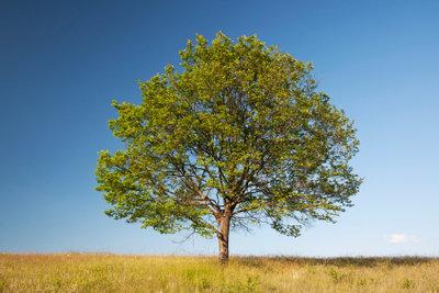 Walnussbäume werden sehr groß.