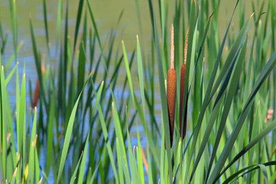 Schilfpflanzen gedeihen nicht nur an Gewässern.