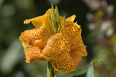 Indisches Blumenrohr schmückt in verschiedenen Ausführungen den Garten oder die Terrasse.