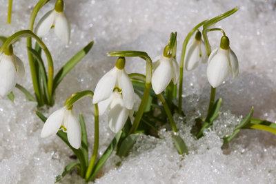 Zarte Blüten, harter Kern: Kälte und Schnee sind für Schneeglöckchen kein Problem.