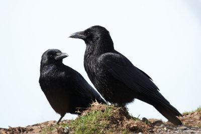 Raben sind anpassungsfähige intelligente Vögel.