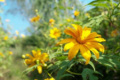 Topinambur hat sonnenblumenähnliche Blüten.