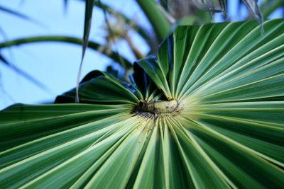 Hanfpalmen gehören zu den winterharten Pflanzen.