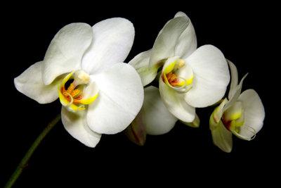 Die Schwarzen Orchidee braucht anspruchsvolle Pflege.