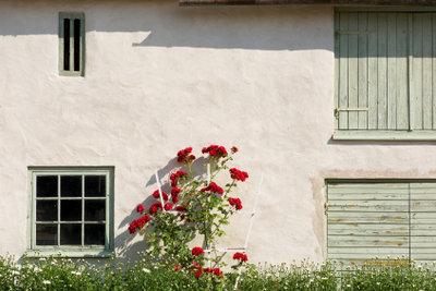 Rosenbäume sind an der Hauswand geschützt.