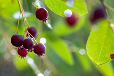 Felsenbirnen sind Beeren, keine Birnen!