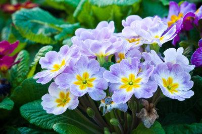 Im Gartenhandel im Frühjahr erhältlich: die Kissenprimel.