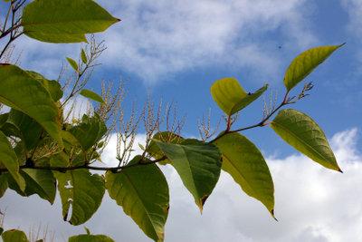 Knöterich ist ebenfalls eine Schlingpflanze.