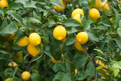 Zuerst prüfen, dann den Zitronenbaum kaufen.