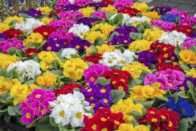 Typisch für den Frühling: Kissenprimeln in bunter Farbvielfalt.