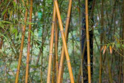 Winterharter Bambus ziert viele Gärten.