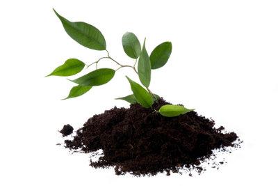 Der Ficus Benjamina braucht intensive Pflege.