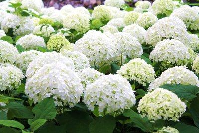 Die Ballhortensie beeindruckt mit attraktiven Blütenbällen.