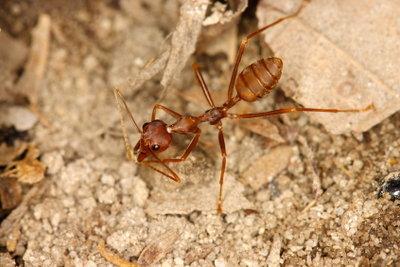 Ameisen kann man mit diversen Mitteln bekämpfen.