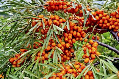 Sanddorn bildet sehr gesunde und dekorative Früchte.