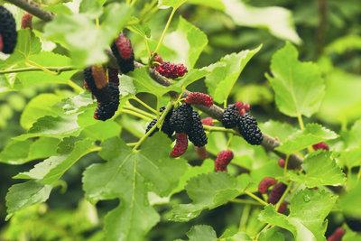 Die Früchte des Maulbeerbaums ähneln der Brombeere.