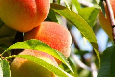 Ein Pfirsichbaum ist etwas Besonderes.