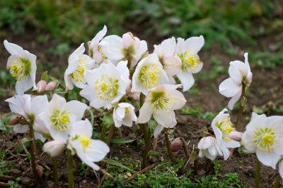Christrosen blühen mitten im Winter.