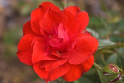 Bekämpfen Sie Dickmaulrüssler in Blumenbeeten.