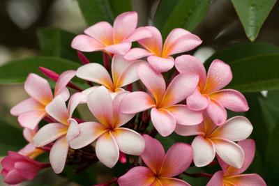 Die Frangipani bildet sehr schöne Blüten.