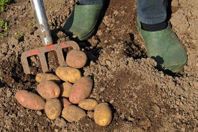 Saatkartoffeln gedeihen sehr zahlreich im Boden.