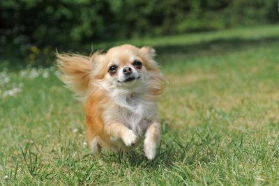 Chihuahuas sind kleine Energiebündel.