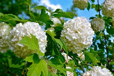 Die Schneeball-Pflanze ist eine der schönsten Ziergehölze.