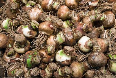 Steckzwiebeln sehen anders aus als Blumenzwiebeln.