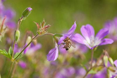 Der Storchenschnabel ist eine attraktive Blume.