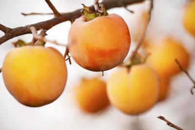 Die Früchte des Kakibaums reifen erst, wenn der Baum die Blätter verliert.