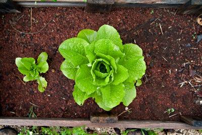 Salat aus dem eigenen Garten schmeckt.
