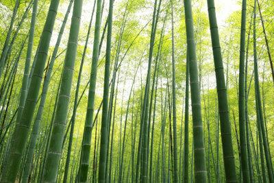 Auch Sie können Fargesia-Wälder heranziehen.