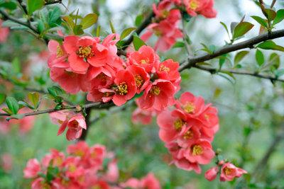 Der Quittenbaum verziert zahlreiche Gärten.