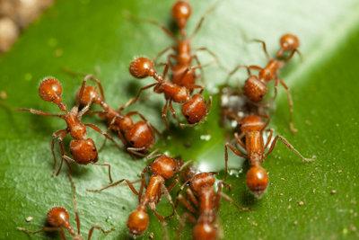 So vertreiben Sie Ameisen schonend.
