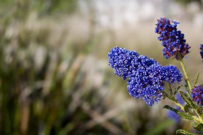 Die Säckelblume blüht meistens blau.