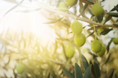 Pflegen Sie Ihren Olivenbaum richtig, wird er gut gedeihen.