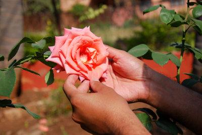 Rosen gehören in jeden Garten.