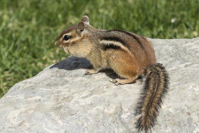 Streifenhörnchen können mit viel Geduld handzahm werden.