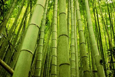 Bambus ist pflegeleicht und dekorativ.